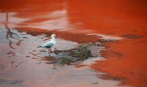 """""""Червен прилив"""" - брегът на Сидни"""