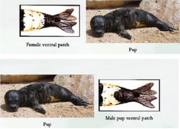 Коремно петно при новородени тюлени монаси. Вляво на женски индивид, вдясно на мъжки.