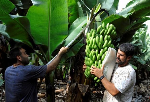 Беритба на банани