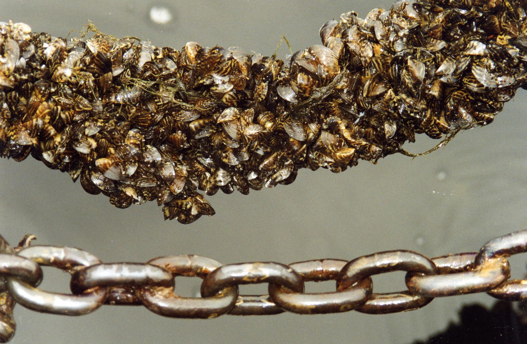 Измежду многото миди - остатъци от древността - Драйсената е най-широко разпространена