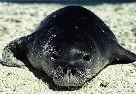 Caribbean-Monk-Seal