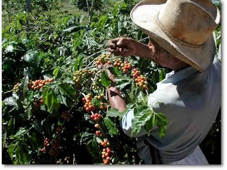 Събиране на реколтата от кафе в Бразилия