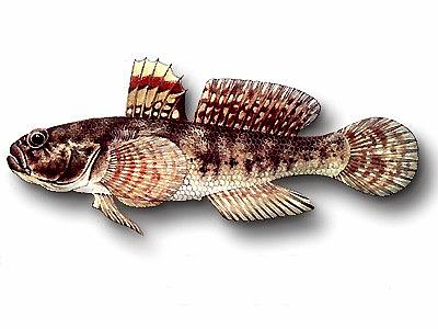 Gobius paganellus (Gobiidae)