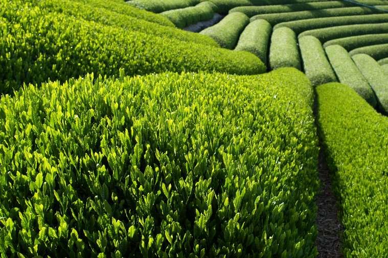 Чаени храсти