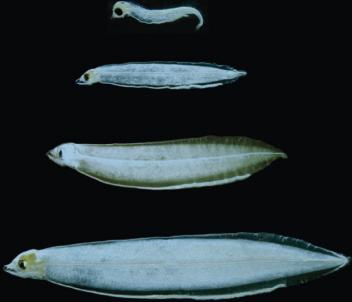 Фотография на пресно уловени лептоцефали на японска змиорка с размер от 4 до 21 мм., показваща стадии на нарастване.
