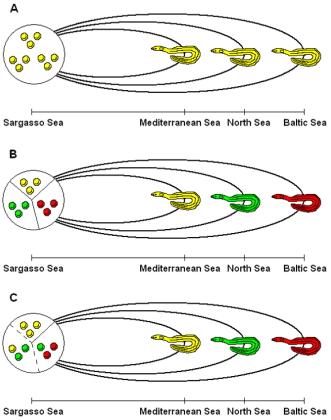 Три основни модела по отношение на популационната генетика на европейската змиорка. А/ Панмиксия; В/ Географска изолация / изолация поради различни места на миграция/; С/ Изолация по време / пристигане по различно време.