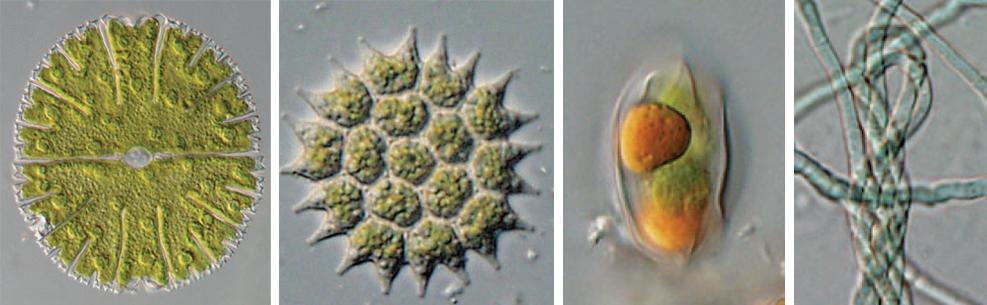 Phytoplankton-3
