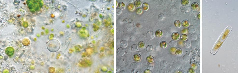 Phytoplankton-4
