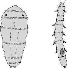 Trilobodrilus heideri