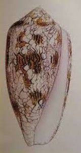Географски конус /conus geographus/