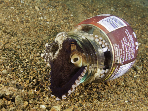 david-fleetham-veined-octopus-octopus-marginatus-using-a-discarded-bottle-for-shelter-anilao-philippines