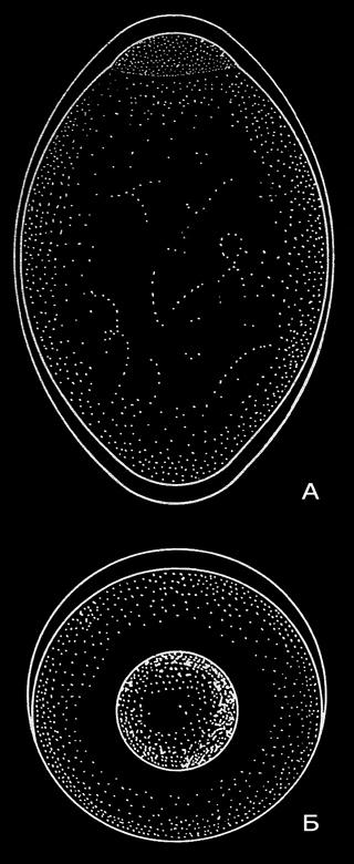 Различни по форма яйца на: А - хамсия Б - платерина