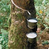 Извличане на сок от каучуково дърво